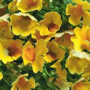 Nemesia Nemo Yellow