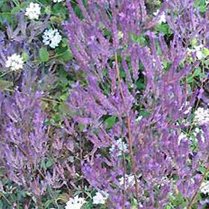 Oregano Hopleys Purple