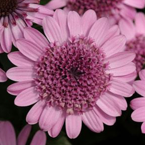 Osteospermum 3D Pink
