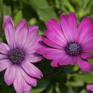 Osteospermum Summertime Royal Purple