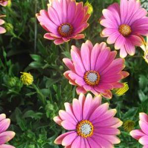 Osteospermum Summer Sweet Sunrise