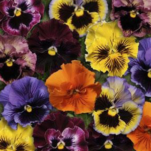 Pansy Frizzle Sizzle Mix