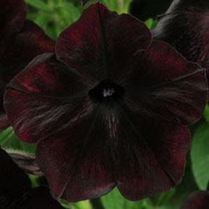 Petunia Debonair Black Cherry