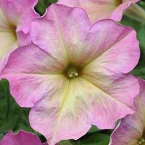 Petunia Debonair Dusty Rose