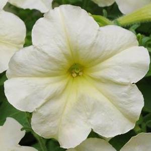 Petunia Debonair Lime Green