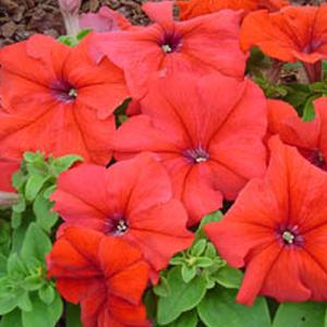 Petunia Limbo Red