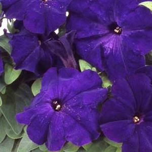 Petunia Mambo Blue