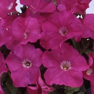 Petunia Mambo Sweet Pink