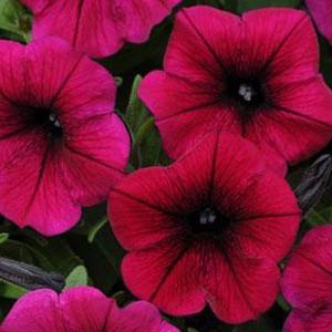 Petunia Potunia Plus Deep Purple