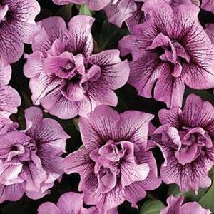 petunia-ruffle-plum-vein