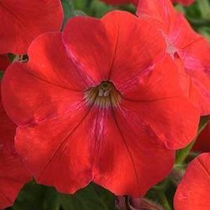 Petunia Sun Spun Red