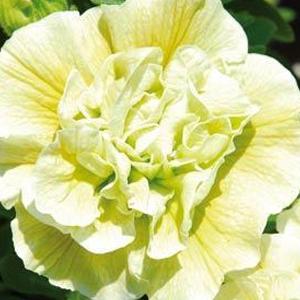 Petunia Sweet Sunshine Lime