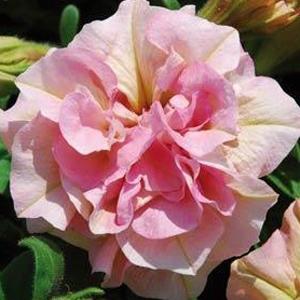 Petunia Sweet Sunshine Nostalgia