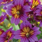 Salpiglossis Royale Purple Bicolor