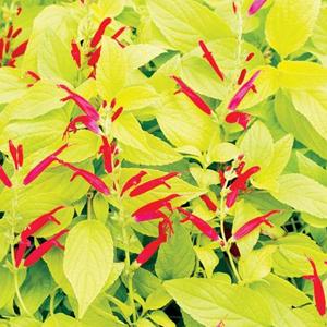 Salvia Golden Delicious