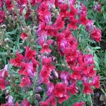 Snapdragon Speedy Sonnet Crimson