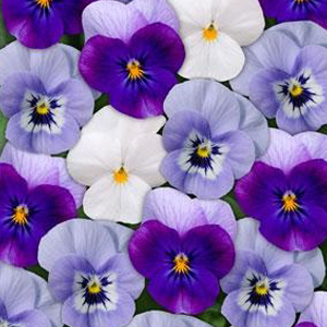 Viola-Sorbet Blueberry Frost Mix