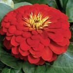 Zinnia Magellan Scarlet