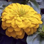 Zinnia Magellan Yellow