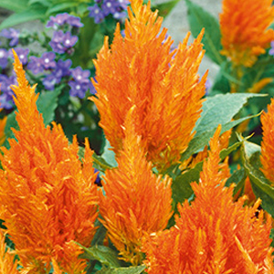 celosia-first-flame