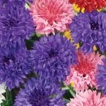 Edible Flowers Bachelor Buttons