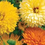 Edible Flowers Calendula