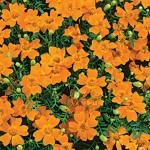 Edible Flowers Marigold Gem