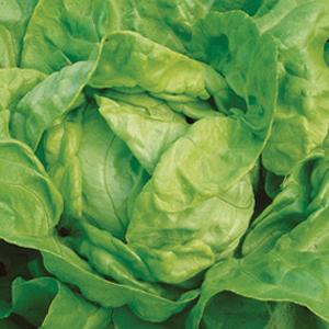 Lettuce-Kweik