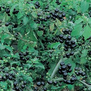 Solanum-Garden-Huckleberry