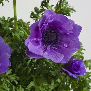 Anemone Harmony-Blue