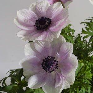 Anemone Harmony-Pearl