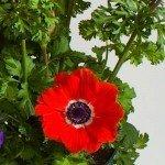 Anemone Harmony Scarlet