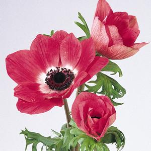 Anemone-Mona-Lisa-Pink