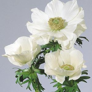Anemone-Mona-Lisa-White