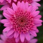 Argyranthemum Madiera Crested Hot Pink