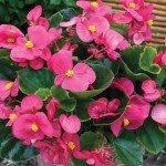 Begonia Bada Bing Rose
