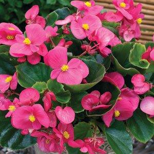 Begonia-Bada-Bing-Rose