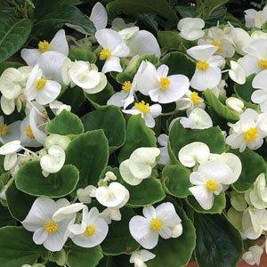Begonia-Bada-Bing-White