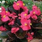 Begonia Bada Boom Rose