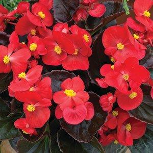 Begonia-Bada-Boom-Scarlet