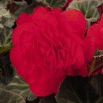Begonia - Mocca Cherry