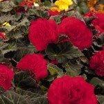 Begonia Mocca Scarlet