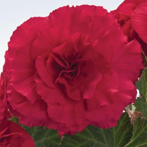 Begonia-Nonstop-Deep-Rose