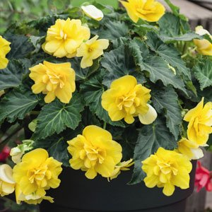 Begonia-Nonstop-Joy-Yellow-2