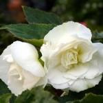 Begonia Nonstop White
