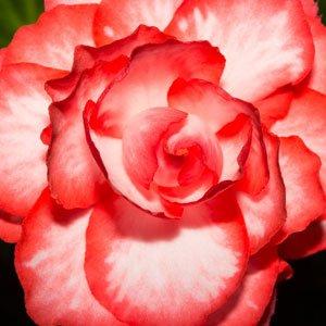 Begonia-ontop-pink-halo
