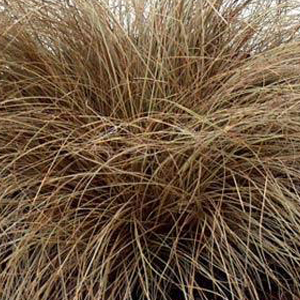 Carex-Toffee-Twist