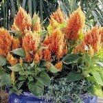 Celosia Fresh Look Orange