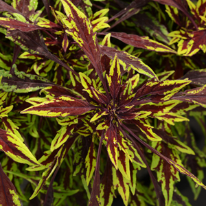 Coleus-Flame-Thrower-Chipotle