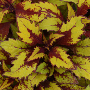 Coleus-FlameThrower-Spiced-Curry